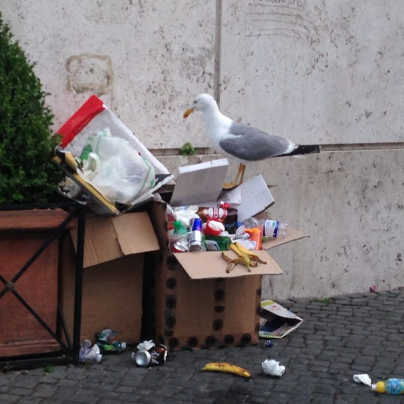 seagull-scavenges-in-vatican-city